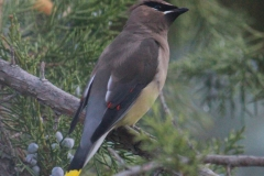 Cedar Waxwing in Juniper
