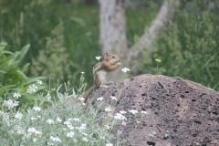 Chipmunk Munch in Garden