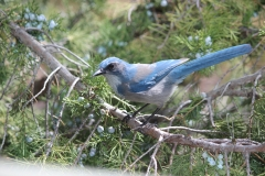 Juniper Berry Feast for Scrub Jay