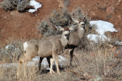 Mule Deer Couple out for a Walk