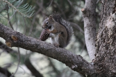 Resident Pine Squirrel with Cone