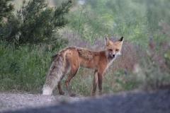 Resident Red Fox