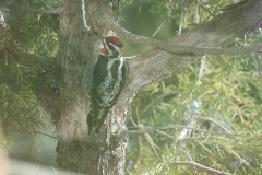 Resident Red-naped Sapsucker