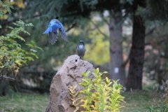 Stellar's Jay Coming in for a Landing