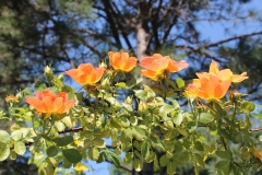 Native Orange Roses in Garden